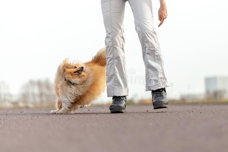 Γερμανικές εργασίες εκπαιδευτών σκυλιών με ένα τσοπανόσκυλο sheetland στοκ φωτογραφία με δικαίωμα ελεύθερης χρήσης