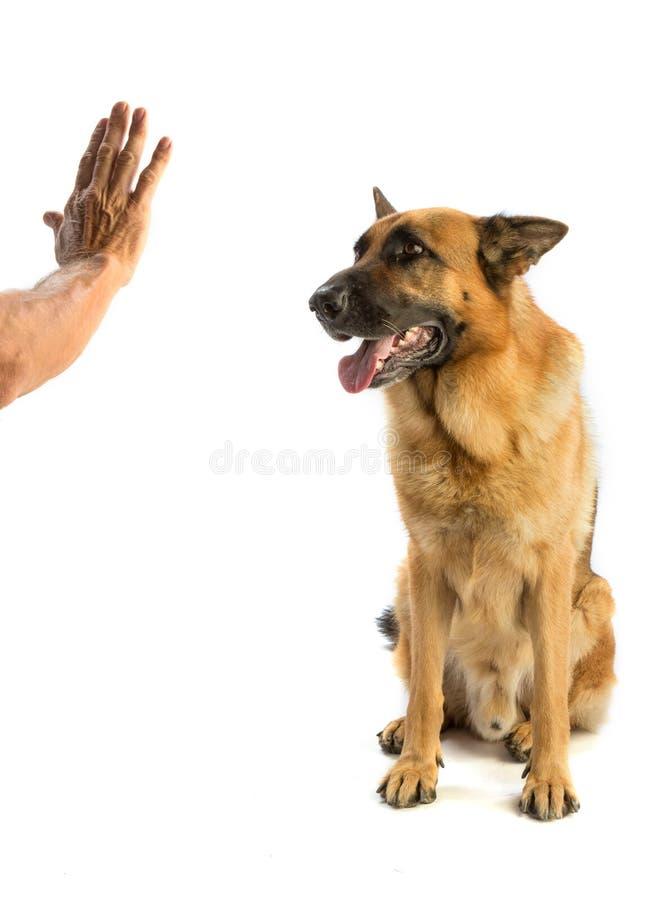 Γερμανική υπακοή ποιμένων μπροστά από ένα χέρι στοκ φωτογραφία