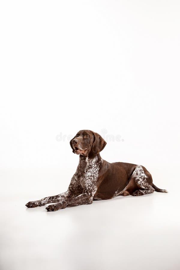 Γερμανικός με κοντά μαλλιά δείκτης - σκυλί κουταβιών Kurzhaar που απομονώνεται στο άσπρο υπόβαθρο στοκ εικόνα με δικαίωμα ελεύθερης χρήσης