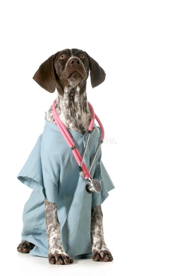 Γερμανικός με κοντά μαλλιά κτηνίατρος δεικτών στοκ φωτογραφίες