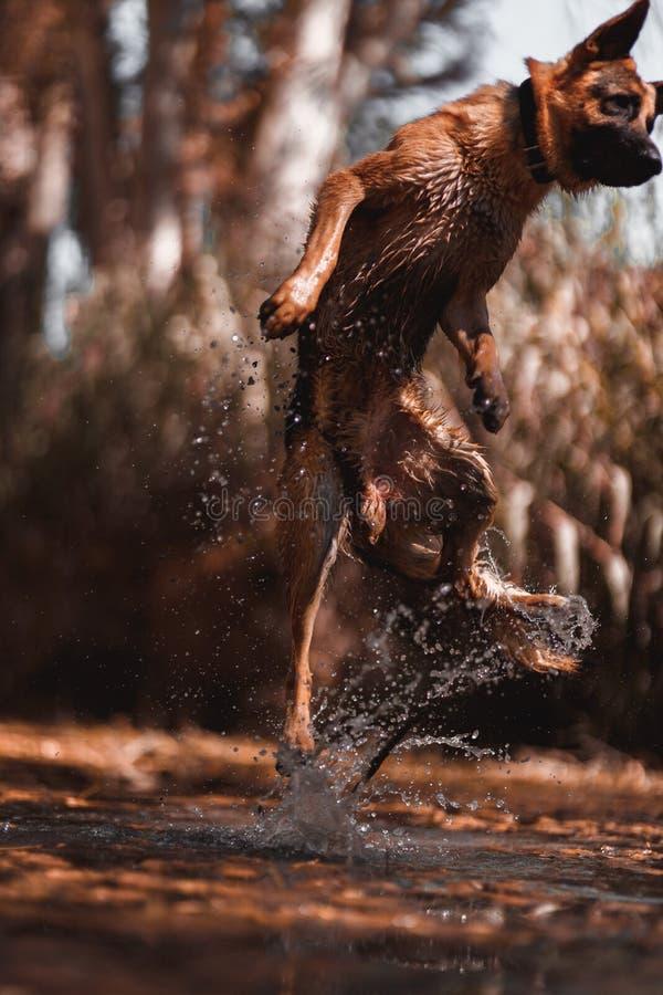 Γερμανικός ποιμένας που πηδά στον ποταμό στοκ εικόνες