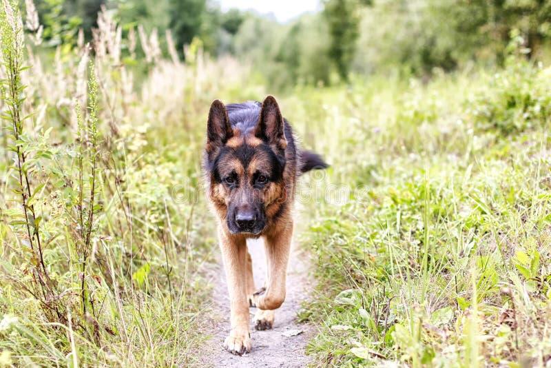 Γερμανικός ποιμένας σκυλιών σε έναν τομέα και μια κίτρινη χλόη στοκ φωτογραφίες με δικαίωμα ελεύθερης χρήσης