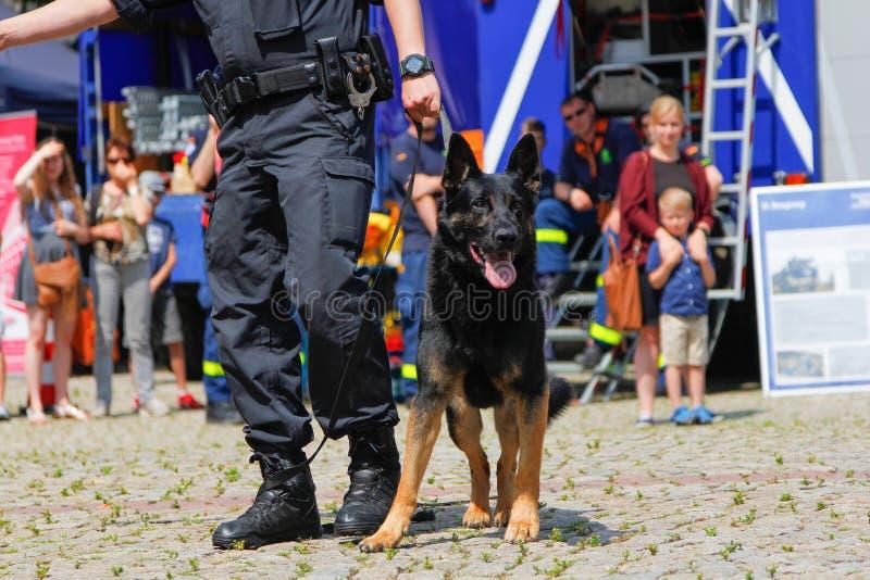 Γερμανικός χειριστής σκυλιών αστυνομίας με ένα τσοπανόσκυλο αστυνομίας στοκ φωτογραφία