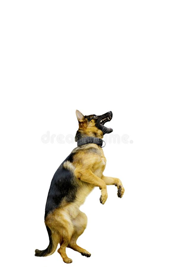 Γερμανικό σκυλί ποιμένων που στέκεται με τα οπίσθια πόδια στοκ εικόνα με δικαίωμα ελεύθερης χρήσης