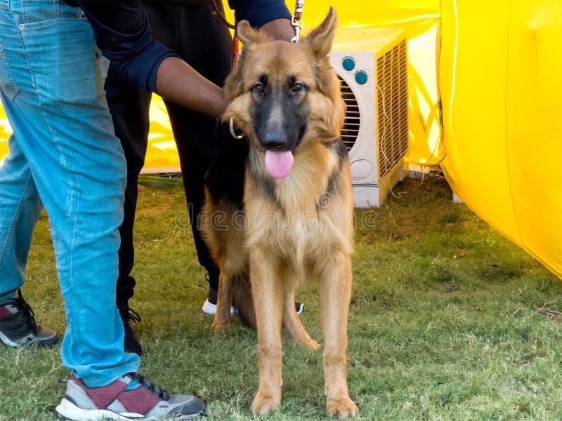 Γερμανικό σκυλί ποιμένων που φαίνεται κεκλεισμένων των θυρών στοκ εικόνες