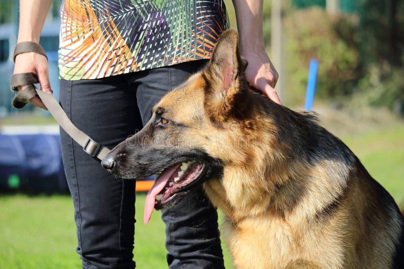 Γερμανικό σκυλί ποιμένων στην εκπαίδευση στην κυνοειδή λέσχη στοκ εικόνα