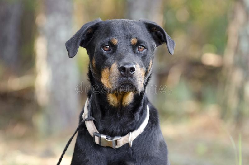 Γερμανικό σκυλί Rottweiler στοκ εικόνες με δικαίωμα ελεύθερης χρήσης