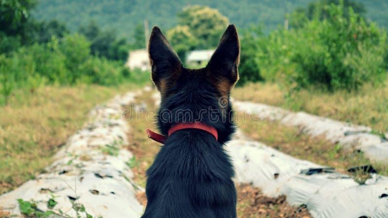 Γερμανικό σκυλί ποιμένων αγροικιών στοκ εικόνα με δικαίωμα ελεύθερης χρήσης
