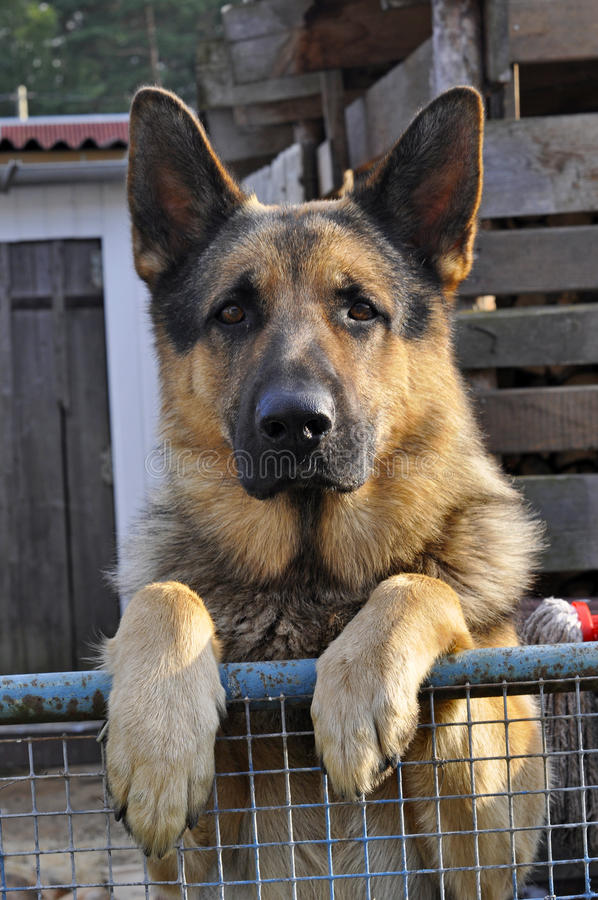 Γερμανικό σκυλί ποιμένων που υπερασπίζεται το φράκτη στοκ φωτογραφίες με δικαίωμα ελεύθερης χρήσης