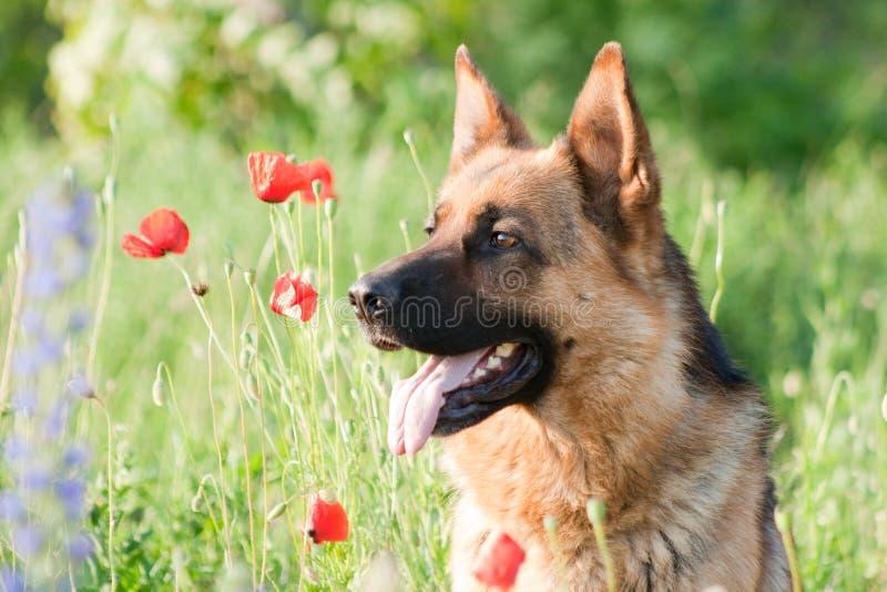 γερμανικό τσοπανόσκυλο πορτρέτου στοκ εικόνα με δικαίωμα ελεύθερης χρήσης