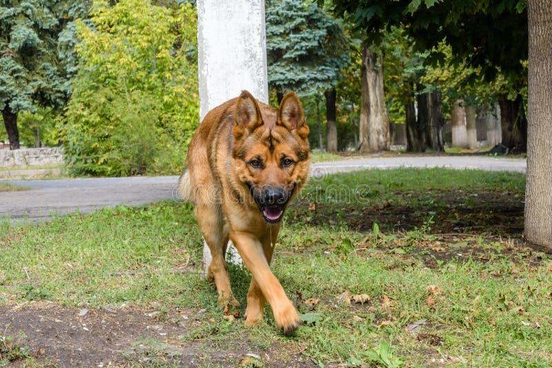 Γερμανικό τσοπανόσκυλο που περπατά κατά μήκος της οδού στοκ φωτογραφία με δικαίωμα ελεύθερης χρήσης
