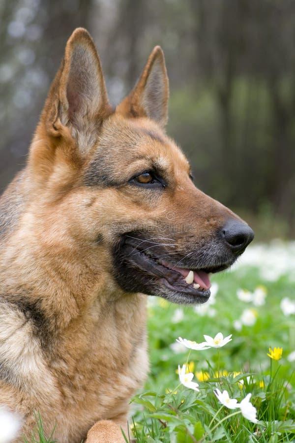 γερμανικό τσοπανόσκυλο στοκ φωτογραφίες με δικαίωμα ελεύθερης χρήσης