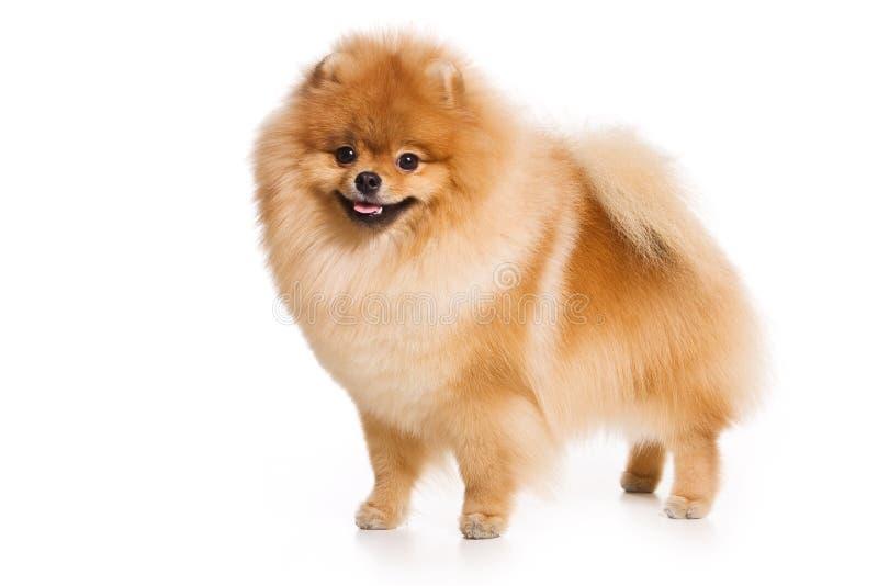 γερμανικό spitz σκυλιών στοκ φωτογραφία με δικαίωμα ελεύθερης χρήσης