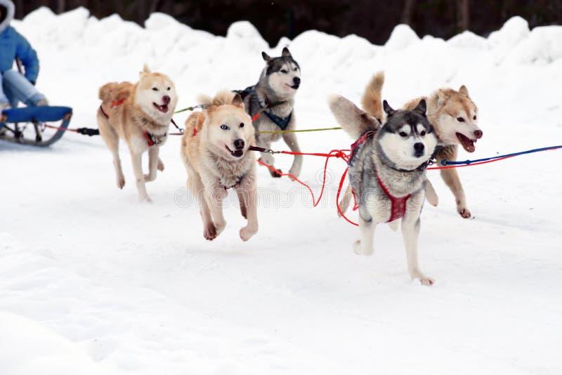 Γεροδεμένα σκυλιά ελκήθρων Εργαζόμενο σκυλί ελκήθρων του Βορρά Ενεργό γεροδεμένο το χειμώνα στα λουριά που οδηγούν στοκ φωτογραφίες με δικαίωμα ελεύθερης χρήσης