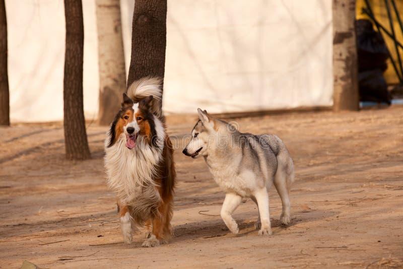 γεροδεμένος ποιμένας Σιβηριανός της Σκωτίας σκυλιών στοκ εικόνες με δικαίωμα ελεύθερης χρήσης