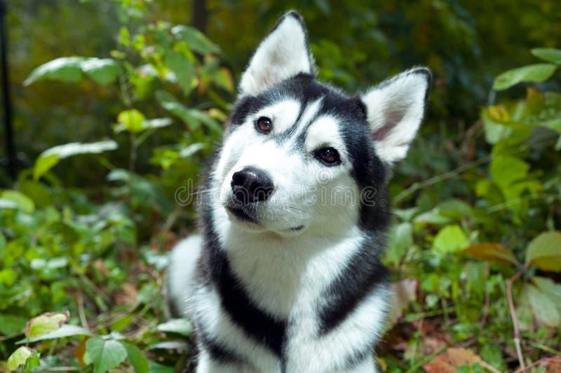 γεροδεμένο πορτρέτο σκυλιών στοκ φωτογραφία με δικαίωμα ελεύθερης χρήσης