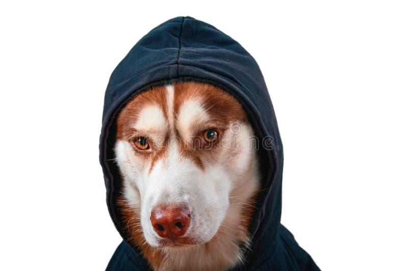 Γεροδεμένο σκυλί πορτρέτου στο μαύρο hoodie στο απομονωμένο άσπρο υπόβαθρο Κόκκινος σιβηρικός γεροδεμένος στην μπλούζα εξετάζει τ στοκ εικόνες με δικαίωμα ελεύθερης χρήσης