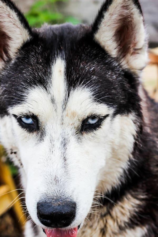Γεροδεμένο σκυλί που περπατά στον τομέα στοκ εικόνα με δικαίωμα ελεύθερης χρήσης