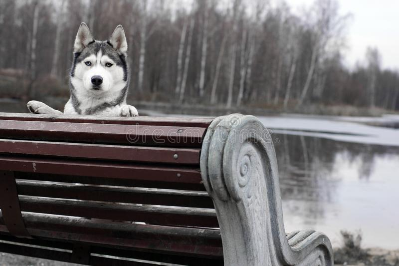 Γεροδεμένο σκυλί φυλής που κρυφοκοιτάζει από τον πάγκο στοκ εικόνες με δικαίωμα ελεύθερης χρήσης