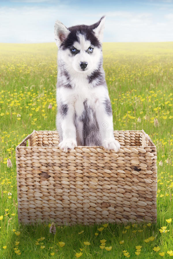 Γεροδεμένο σκυλί μέσα στο ξύλινο καλάθι στο λιβάδι στοκ εικόνες