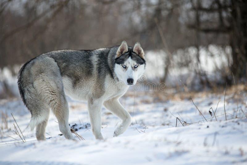 γεροδεμένο σκυλί στο δάσος στοκ φωτογραφίες