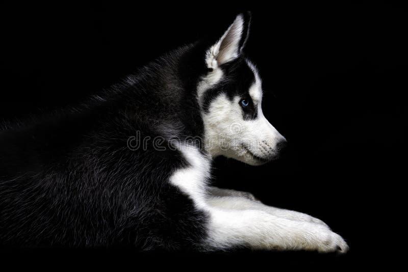 Γεροδεμένο σκυλί στο Μαύρο στοκ εικόνες