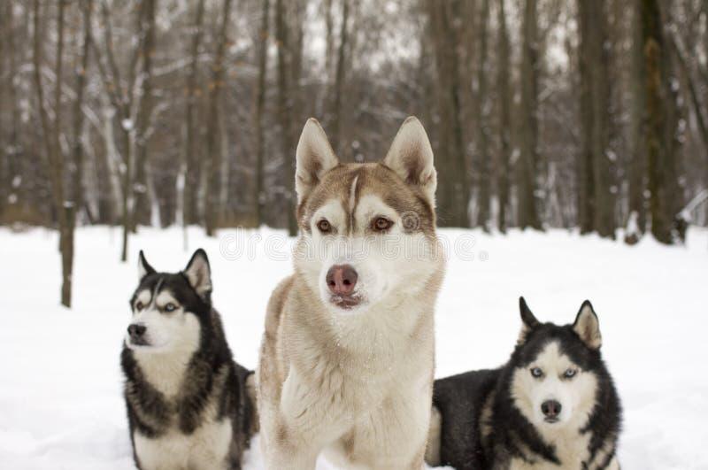 Γεροδεμένο χιόνι λύκων χειμερινών όμορφο υπερήφανο ζωικό άγριο σκυλιών χιονιού τρίο μεγάλο στοκ φωτογραφία με δικαίωμα ελεύθερης χρήσης