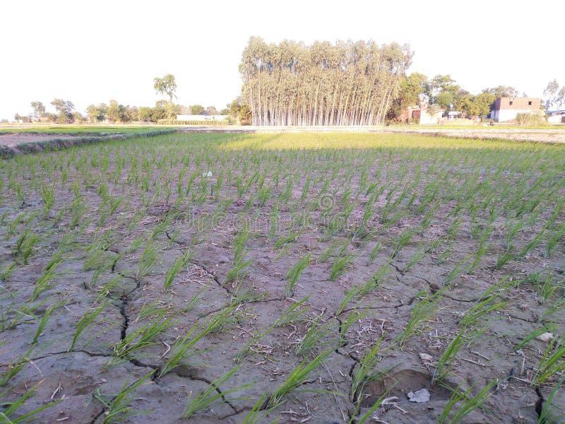 Γεωργία που καλλιεργεί τη dhaan λάσπη νερού βρεφικών σταθμών στοκ εικόνα