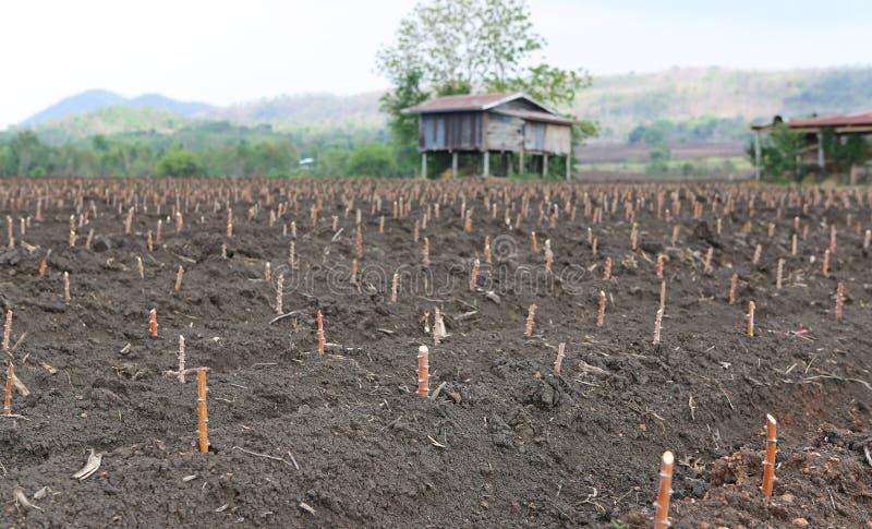Γεωργική γη μανιόκων, γεωργία στην Ταϊλάνδη στοκ φωτογραφία