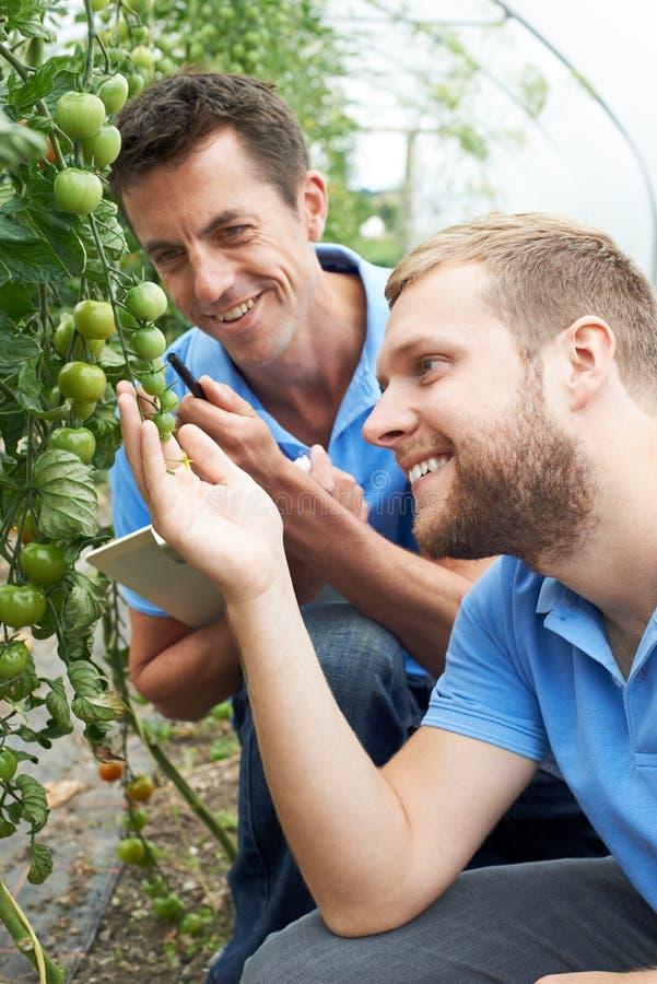 Γεωργικοί εργαζόμενοι που ελέγχουν τις τοματιές που χρησιμοποιούν την ψηφιακή ταμπλέτα στοκ φωτογραφία με δικαίωμα ελεύθερης χρήσης