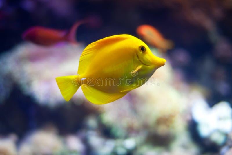 γεύση ψαριών κίτρινη στοκ εικόνα