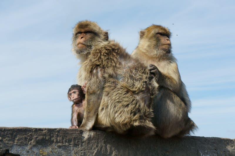 Γιβραλτάρ Macaque στοκ εικόνες
