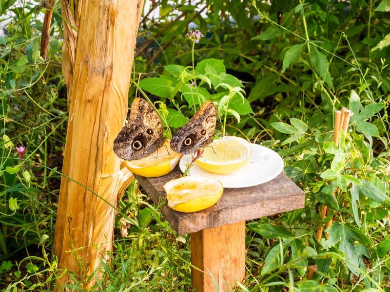 Γιγάντιες πεταλούδες στα εσπεριδοειδή στοκ φωτογραφίες με δικαίωμα ελεύθερης χρήσης