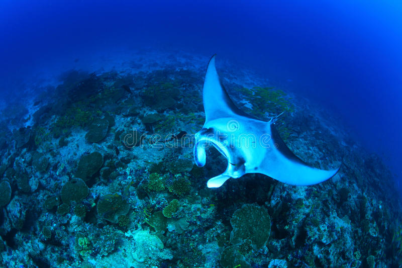 γιγαντιαία ακτίνα manta στοκ εικόνες με δικαίωμα ελεύθερης χρήσης