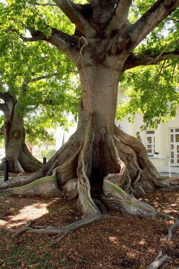 γιγαντιαία δύση δέντρων κα&pi στοκ εικόνες με δικαίωμα ελεύθερης χρήσης