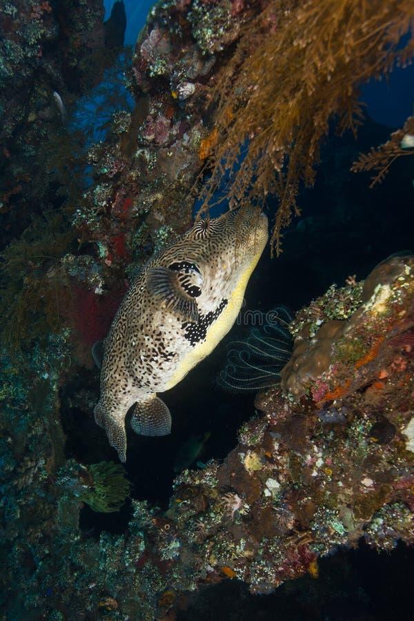 Γιγαντιαία κολύμβηση ψαριών καπνιστών στοκ φωτογραφία