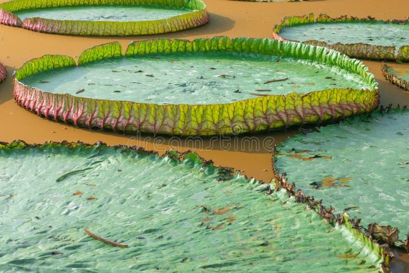 γιγαντιαία μαξιλάρια κρίν&omega στοκ εικόνα με δικαίωμα ελεύθερης χρήσης