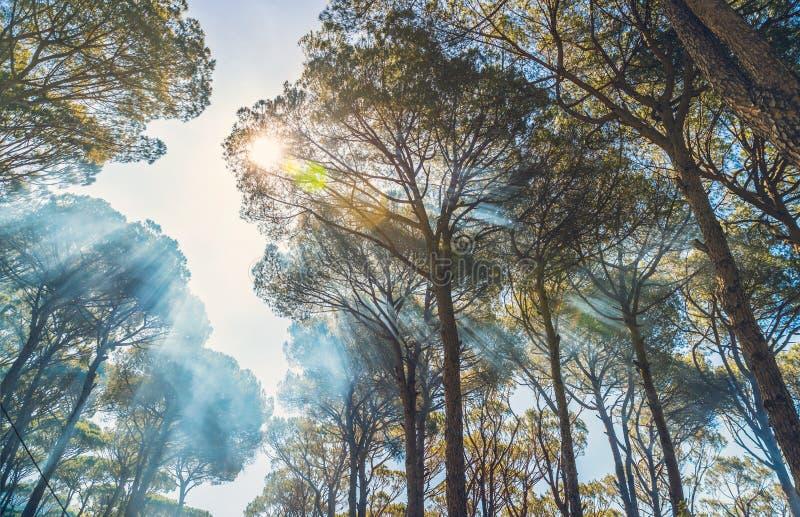 Γιγαντιαία παλαιά δέντρα πεύκων στοκ εικόνα