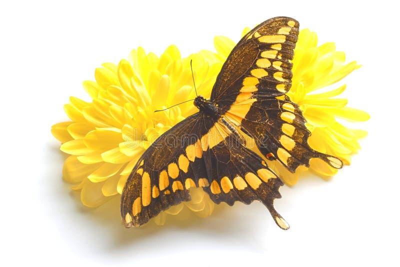 Γιγαντιαία πεταλούδα Swallowtail στοκ εικόνα