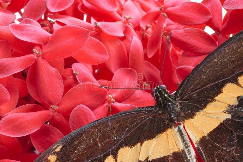 Γιγαντιαία πεταλούδα Swallowtail στοκ εικόνες με δικαίωμα ελεύθερης χρήσης