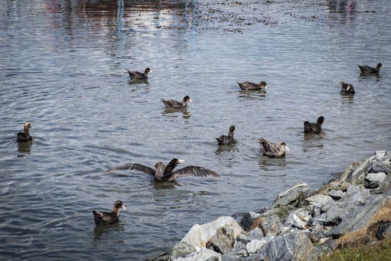 Γιγαντιαία προκελλαρία που κολυμπά στο φιορδ Ushuaia Αργεντινή στοκ εικόνες