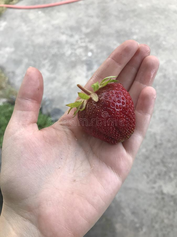 Γιγαντιαία φράουλα στοκ εικόνες
