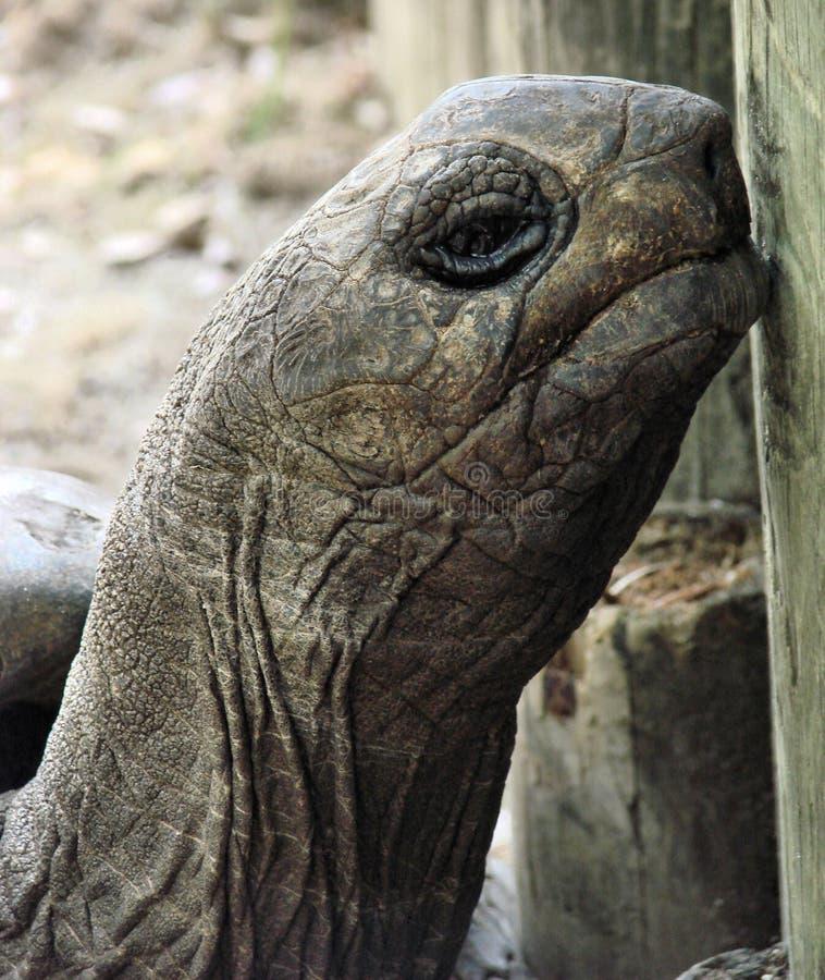 γιγαντιαία χελώνα στοκ φωτογραφία