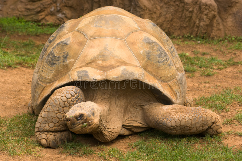 γιγαντιαία χελώνα στοκ εικόνες