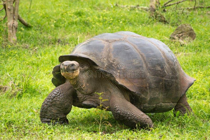 Γιγαντιαία Galapagos χελώνα, Ισημερινός, Νότια Αμερική στοκ φωτογραφία