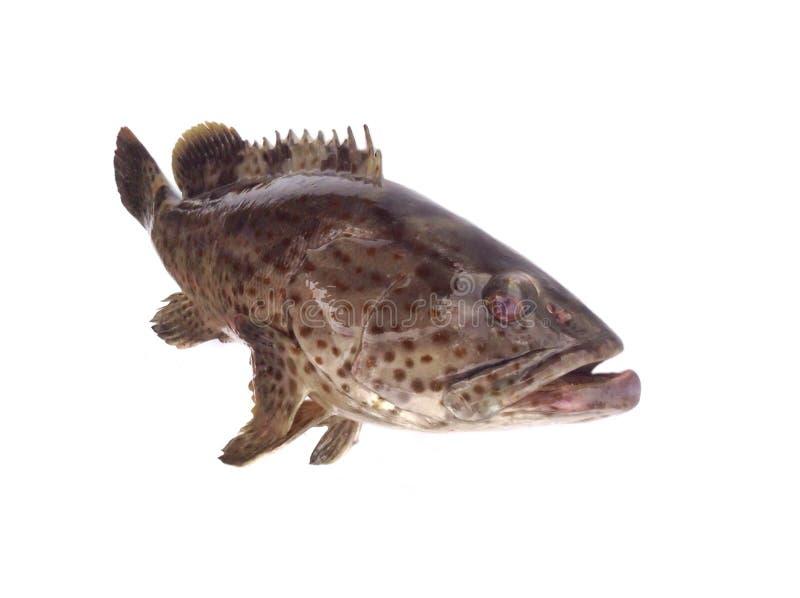 Γιγαντιαία grouper ψάρια στοκ εικόνα
