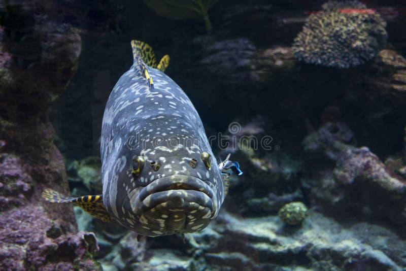 Γιγαντιαία malabar grouper ψάρια στοκ φωτογραφία