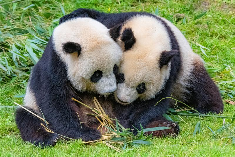 Γιγαντιαία pandas στοκ εικόνα