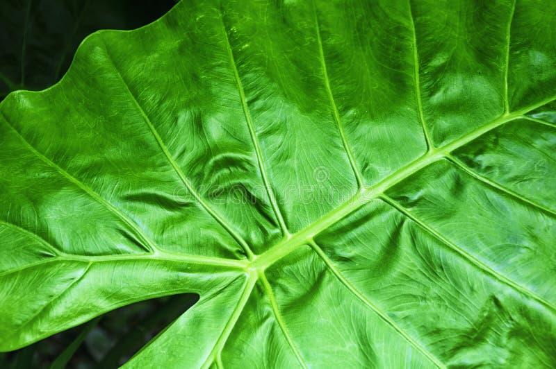 Γιγαντιαία Taro φύλλα Ταϊπέι Ταϊβάν στοκ εικόνα