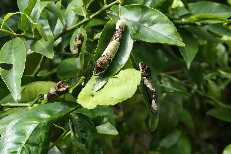 Γιγαντιαίες κάμπιες Swallowtail που τρώνε τα φύλλα στοκ φωτογραφίες με δικαίωμα ελεύθερης χρήσης